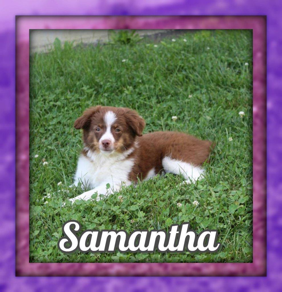 Samantha Female Mini Australian Shepherd