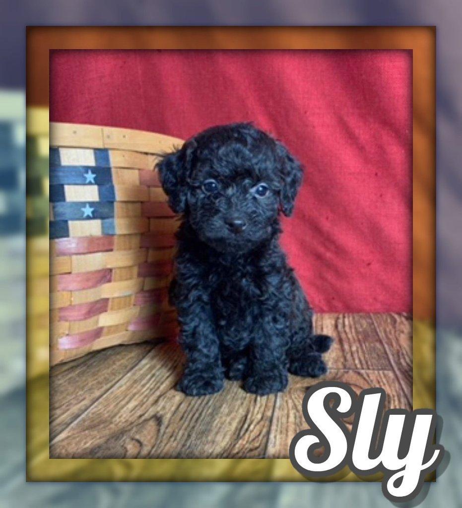 Sly Male Mini Poodle