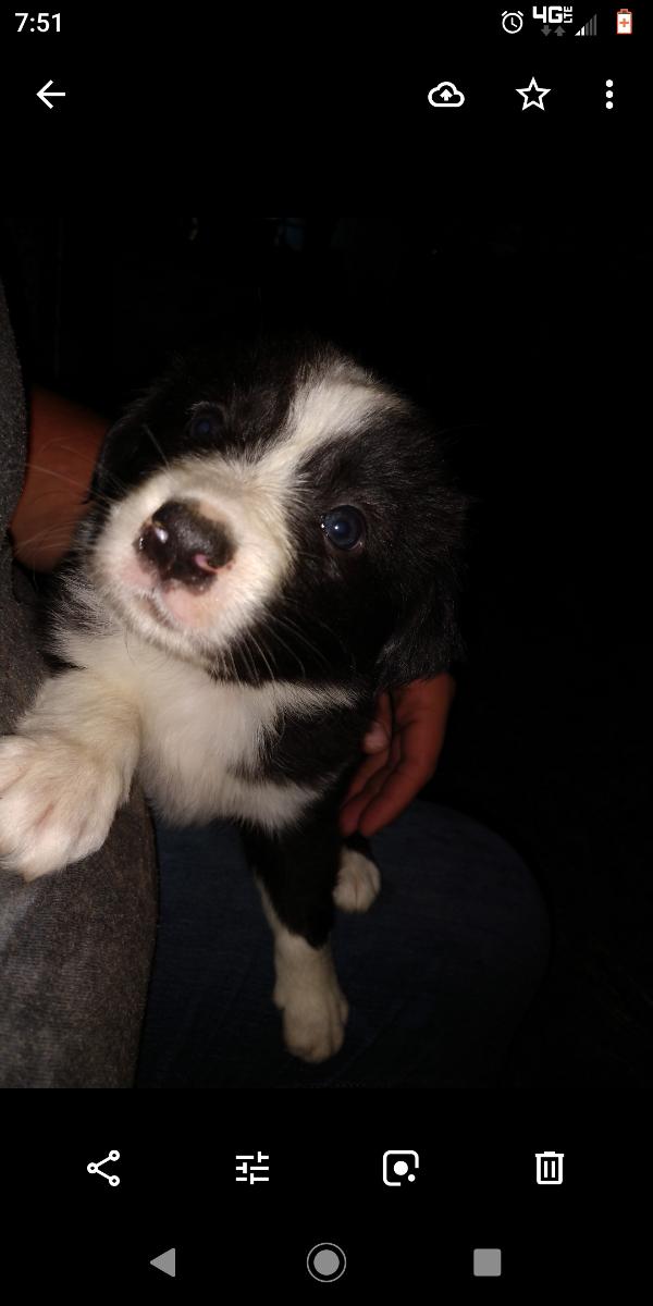 Australian Shepherd and border collie pups