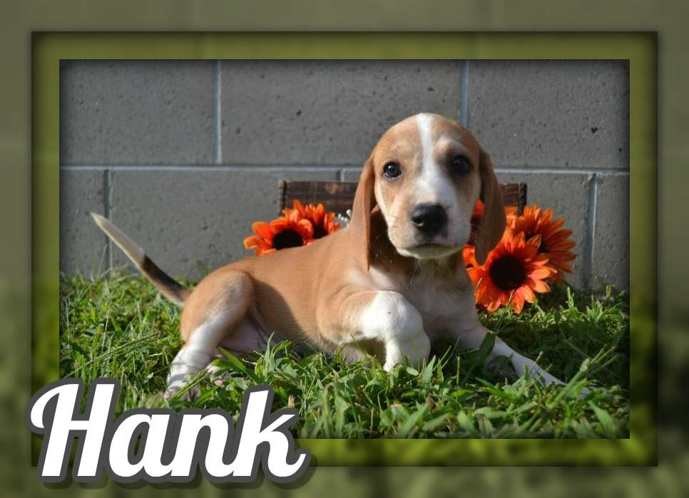 Hank Male Mountain Cur Mix