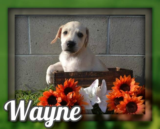 Wayne Male Mountain Cur Mix