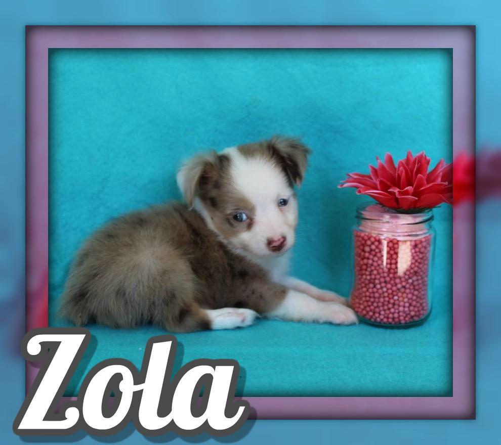 Zola Female Mini Australian Shepherd