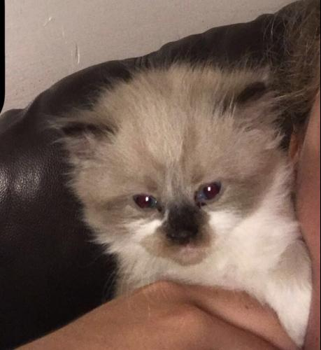 Purebred Ragdoll kittens. Kid friendly