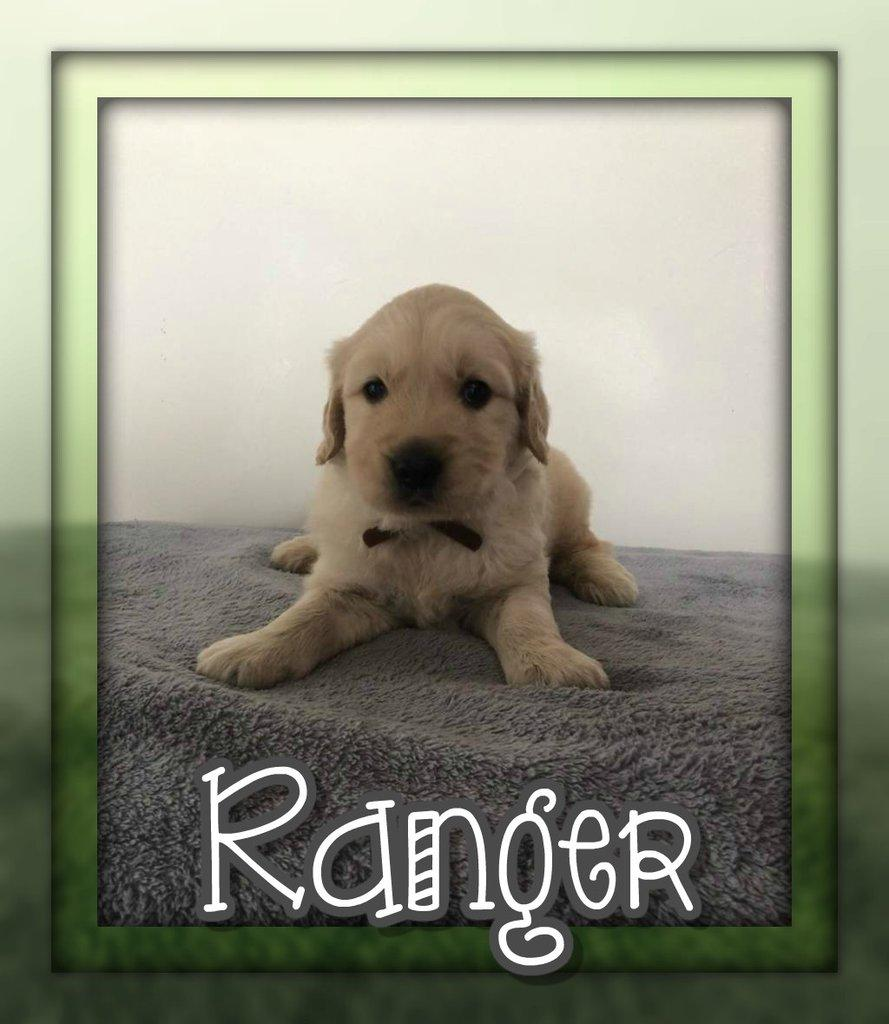 Ranger AKC Male Golden Retriever