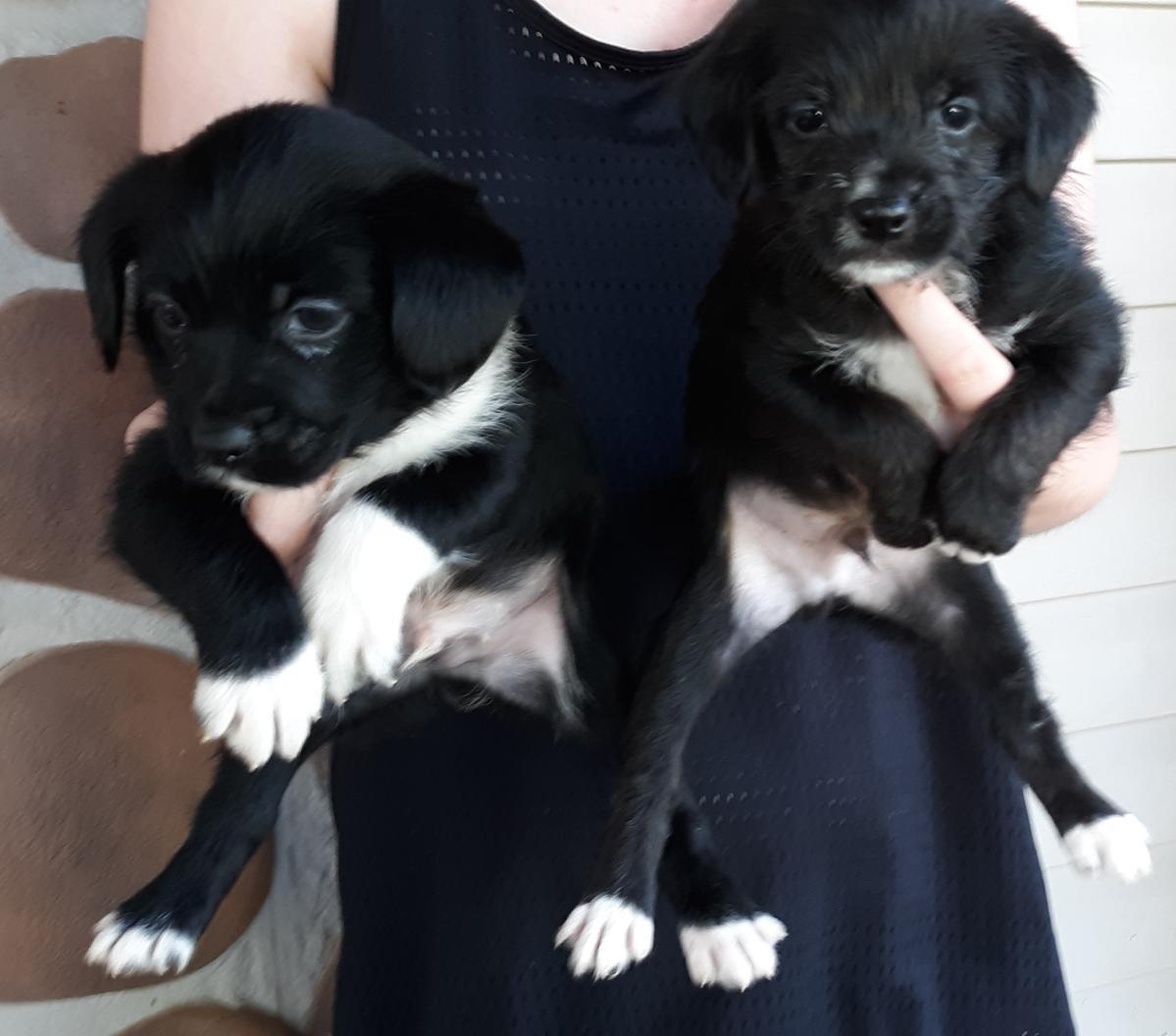 Rat Shih Terrier puppies