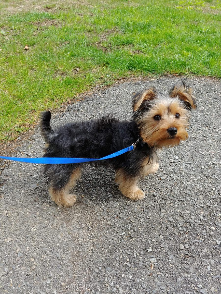 9 month old Male Yorkie
