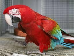 perroquets parlants adorables mâles et femelles parlant