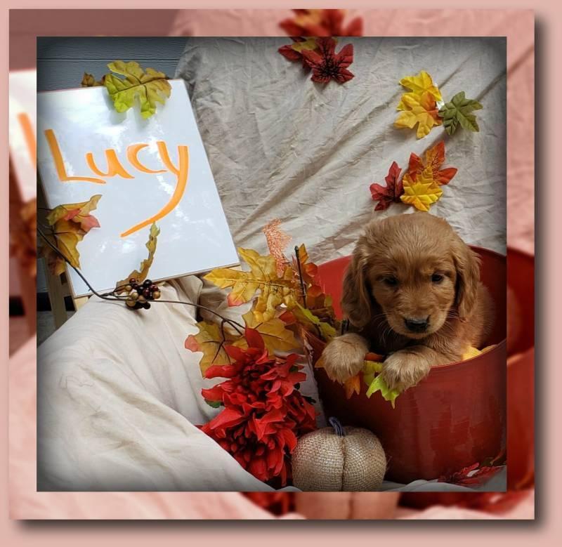 Lucy Female Golden Retriever