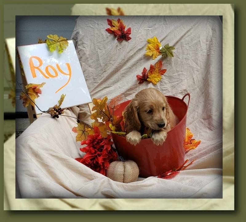 Roy Male Golden Retriever