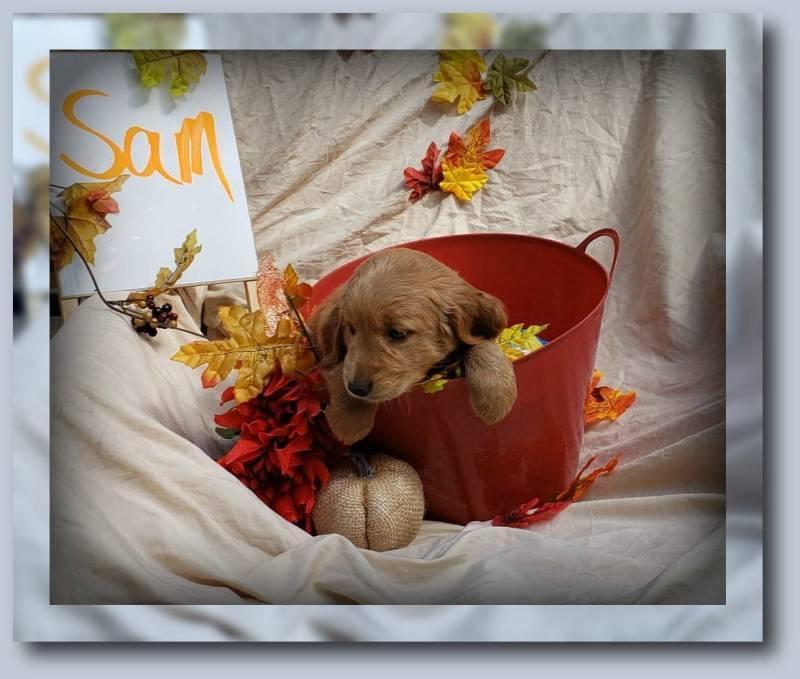 Sam Male Golden Retriever