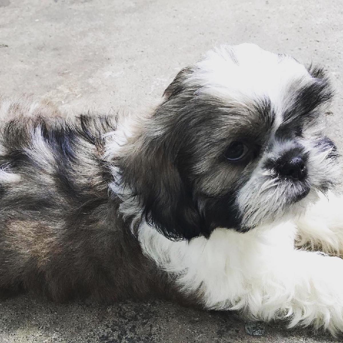 Toro the Malshih male puppy