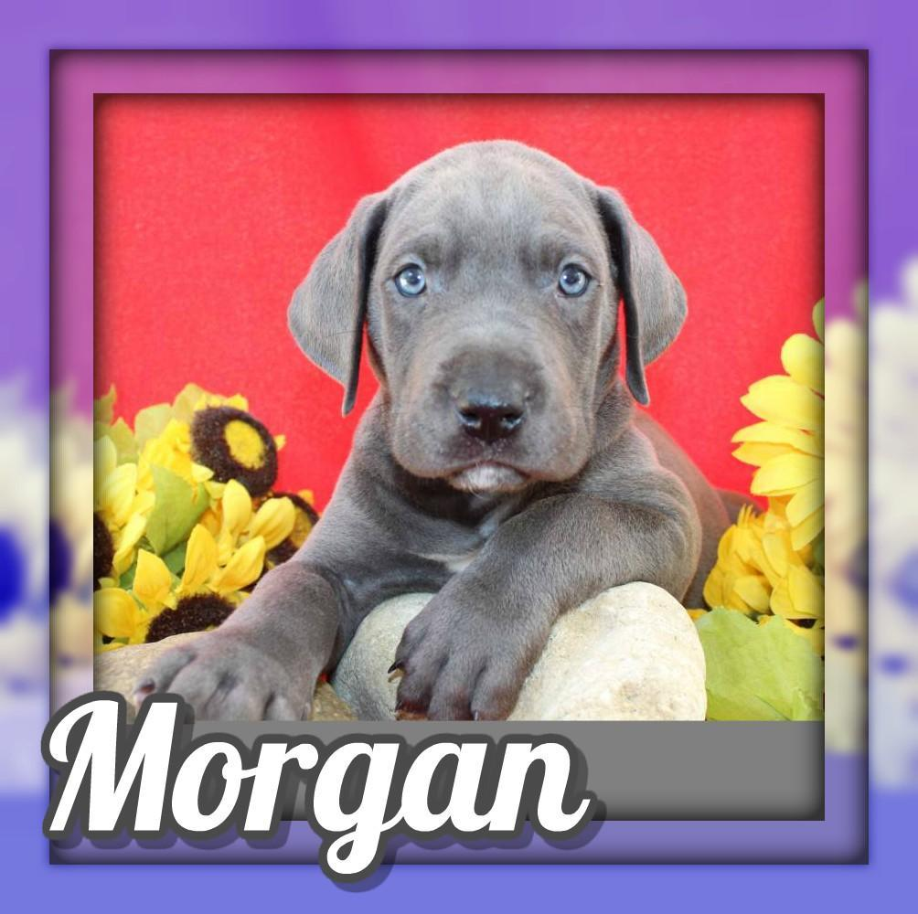 Morgan Male AKC Great Dane