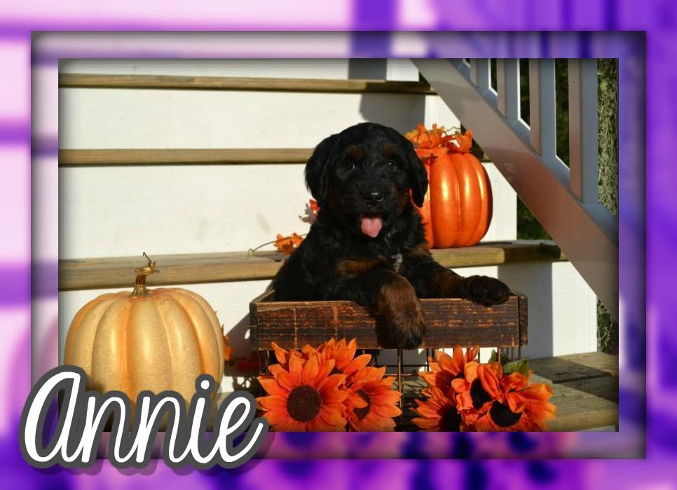 Annie Female Bernedoodle