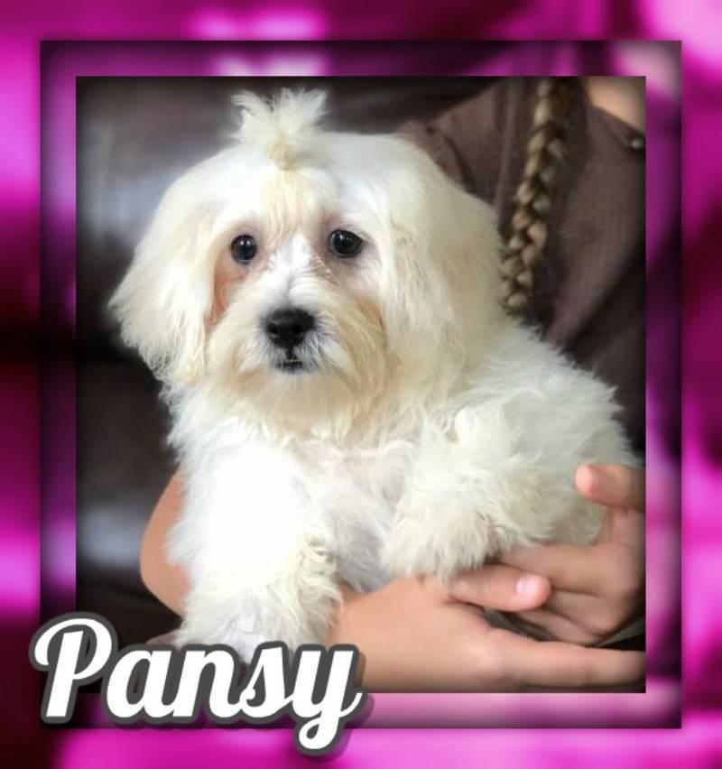 Pansy Female Shih-Chon Teddy Bear