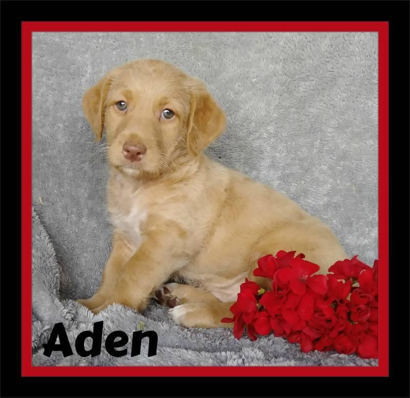 Aden Male Mini Labradoodle