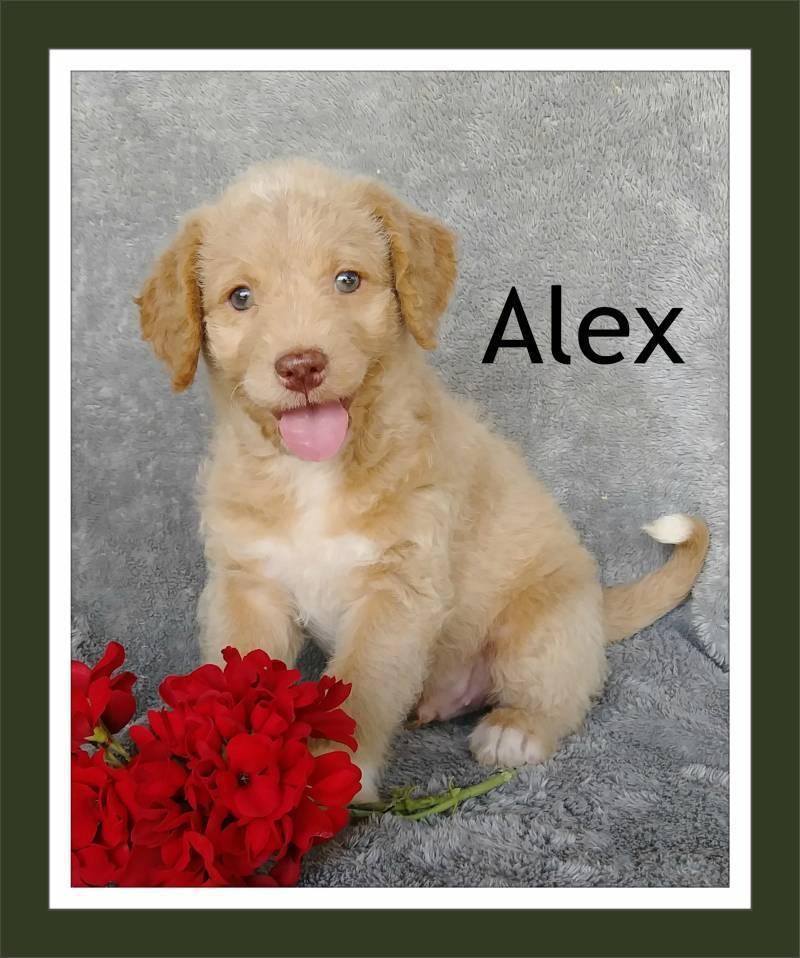 Alex Male Mini Labradoodle