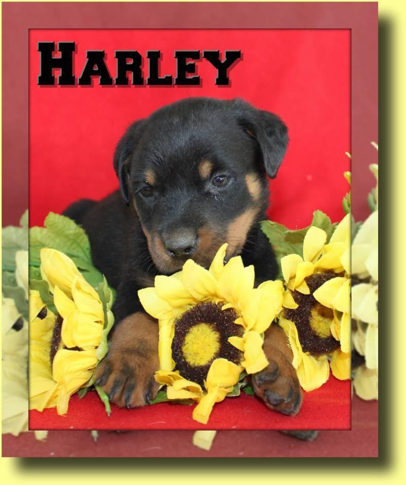 Harley AKC Male Rottweiler