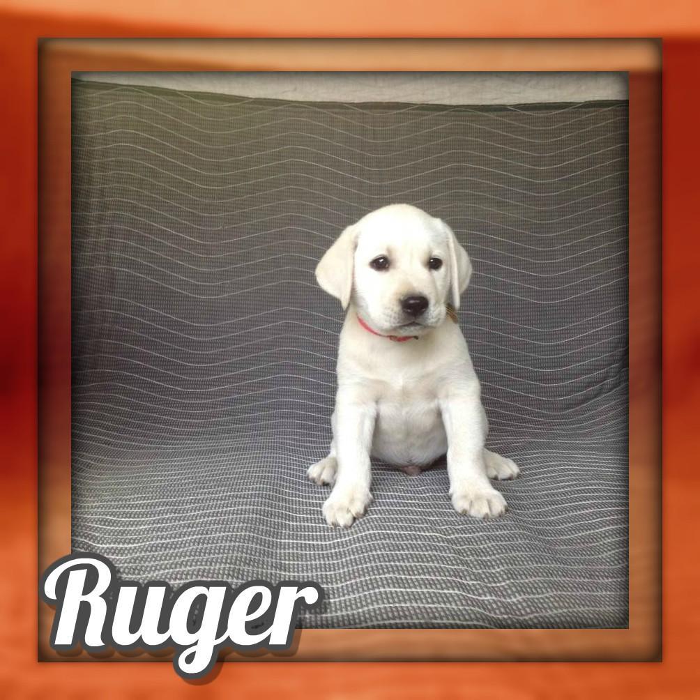 Ruger AKC Male Labrador Retriever