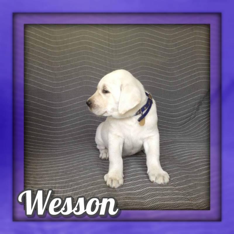 Wesson AKC Male Labrador Retriever