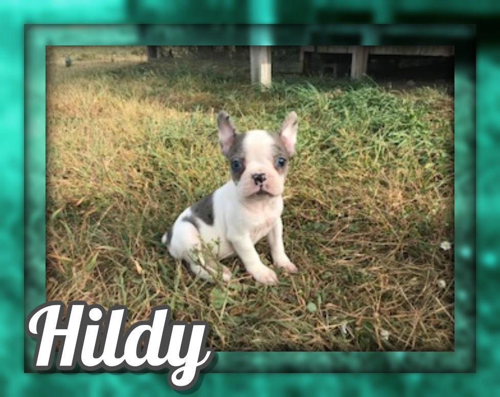 Hildy Female Frenchton