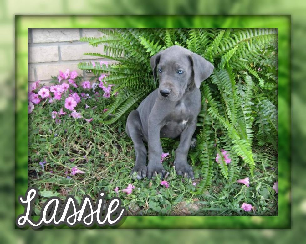 Lassie Female AKC Great Dane