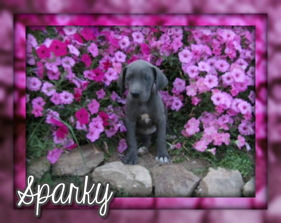 Sparky Female AKC Great Dane