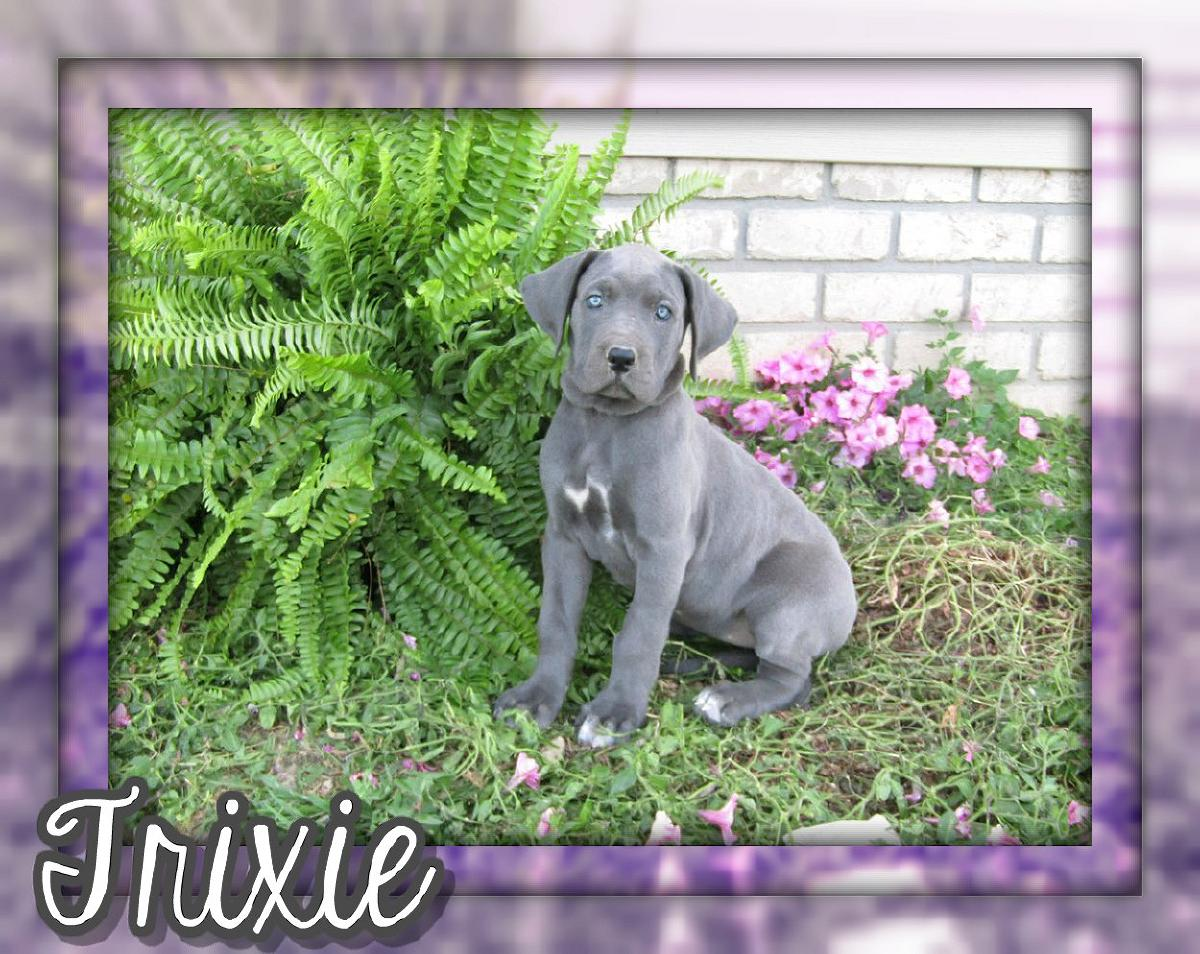 Trixie Female AKC Great Dane