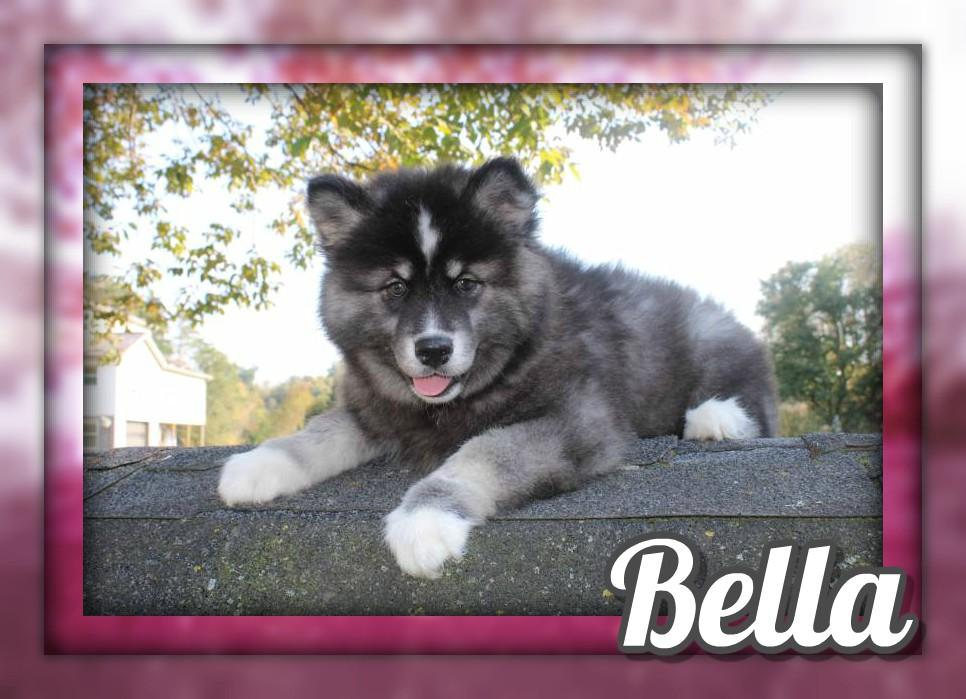 Bella Female ACA Husky