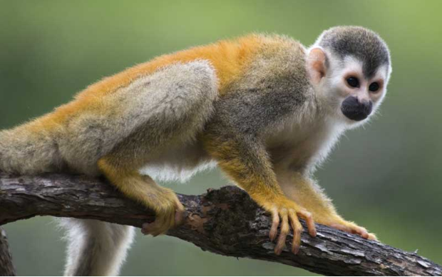 Squirrel Monkey I need a home for