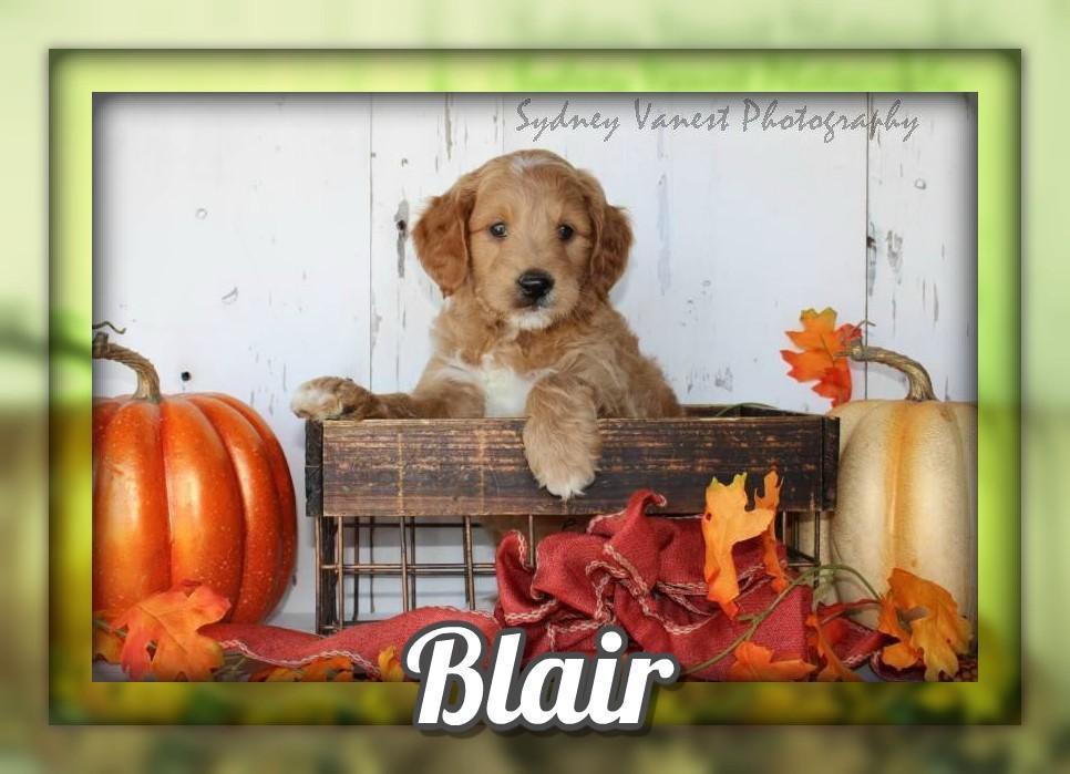 Blair Male Mini Goldendoodle