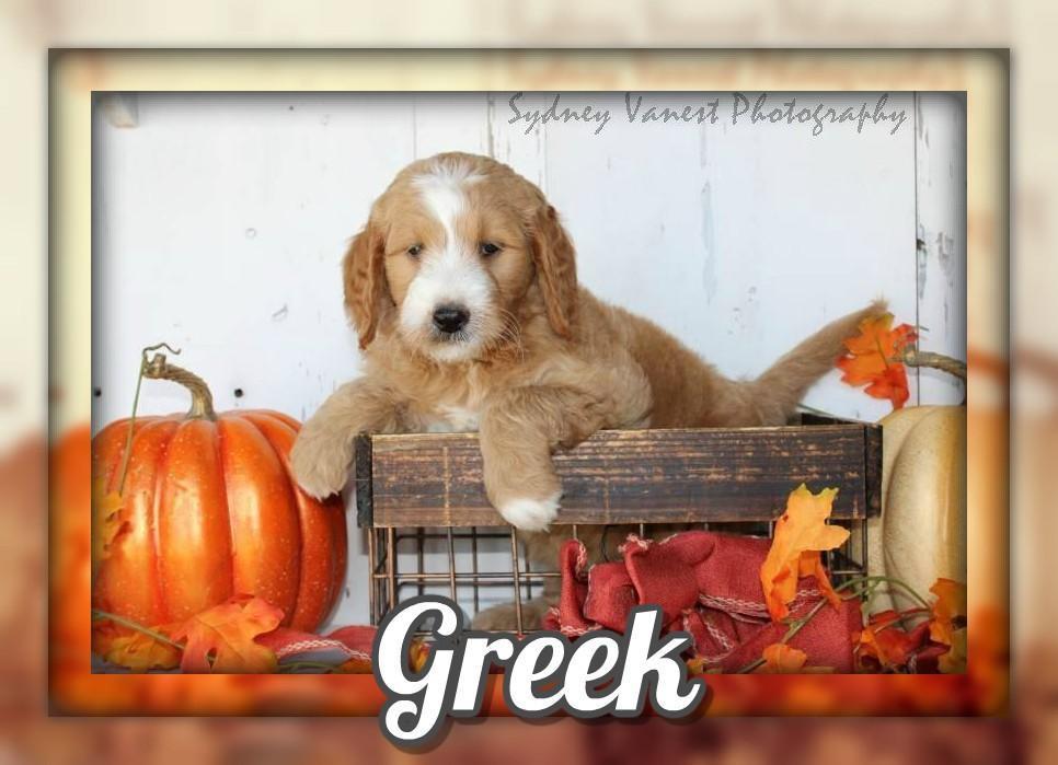 Greek Male Mini Goldendoodle