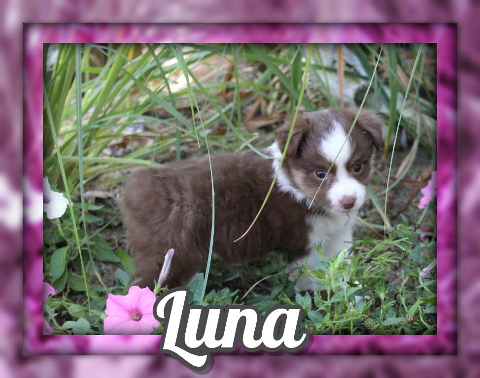 Luna Female Mini Australian Shepherd