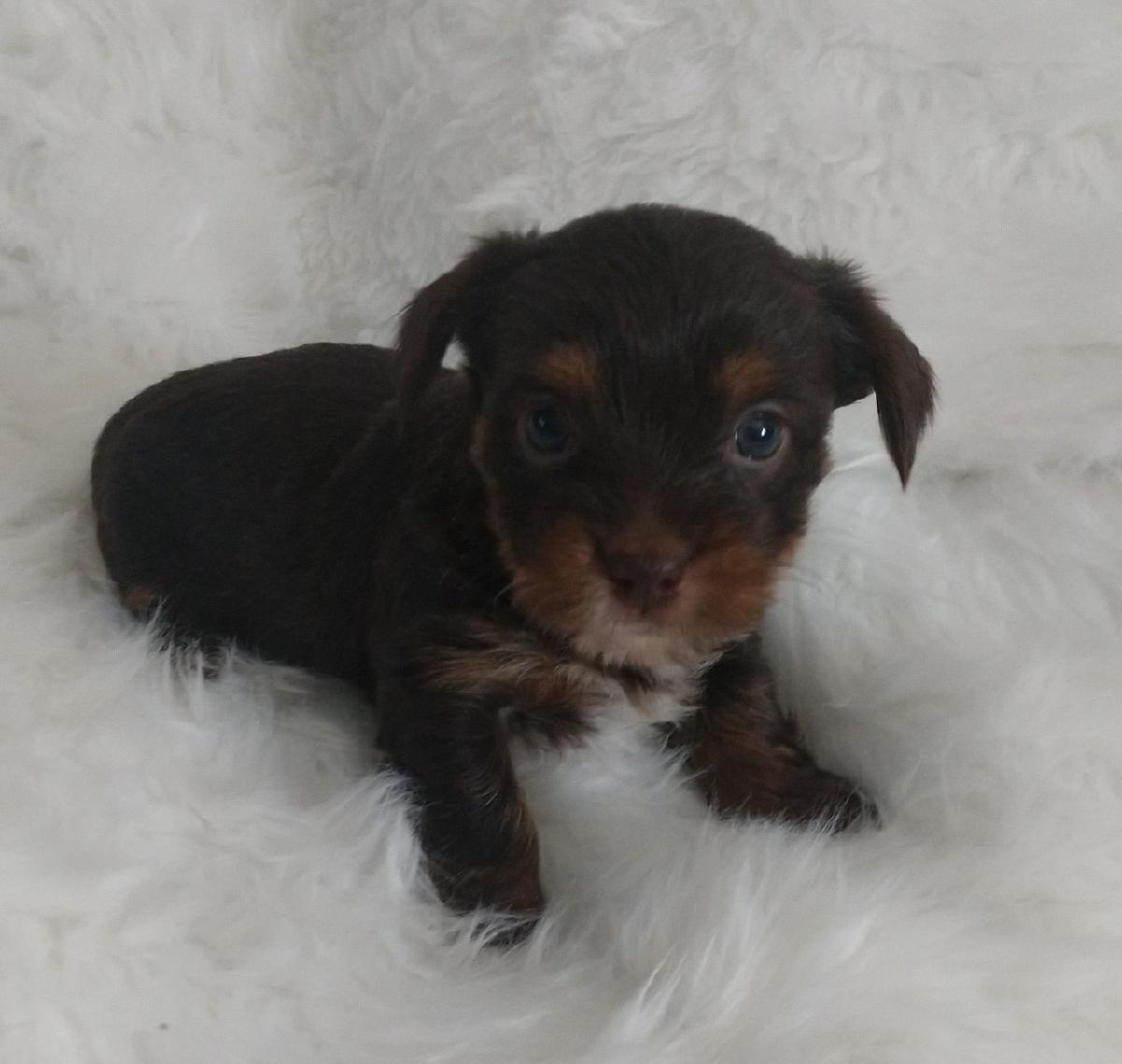 Chocolate Yorkshire Terrier