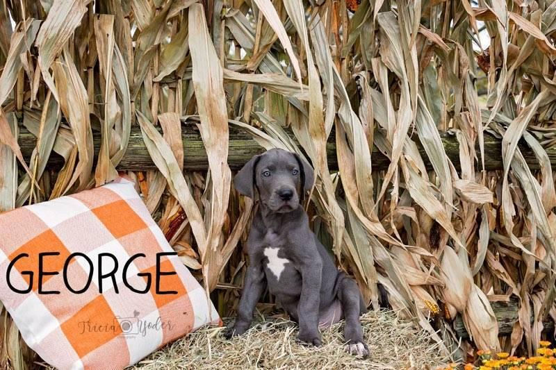 George Male AKC Great Dane
