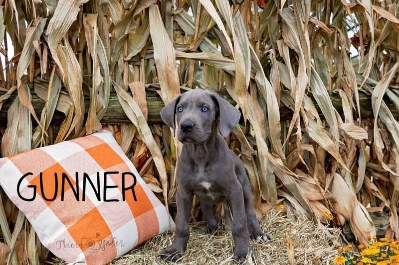 Gunner Male AKC Great Dane