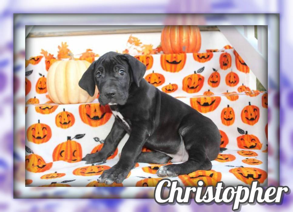 Christopher Male AKC Great Dane