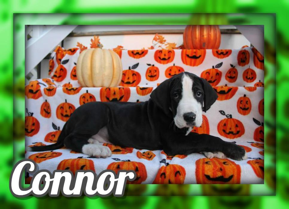 Connor Male AKC Great Dane