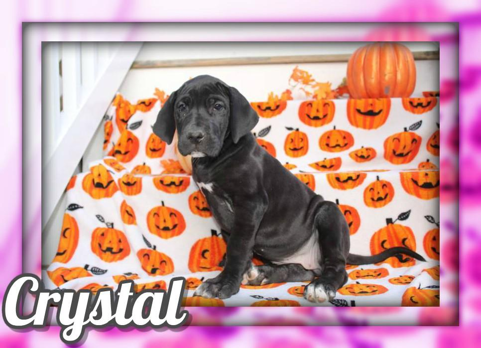Crystal Female AKC Great Dane