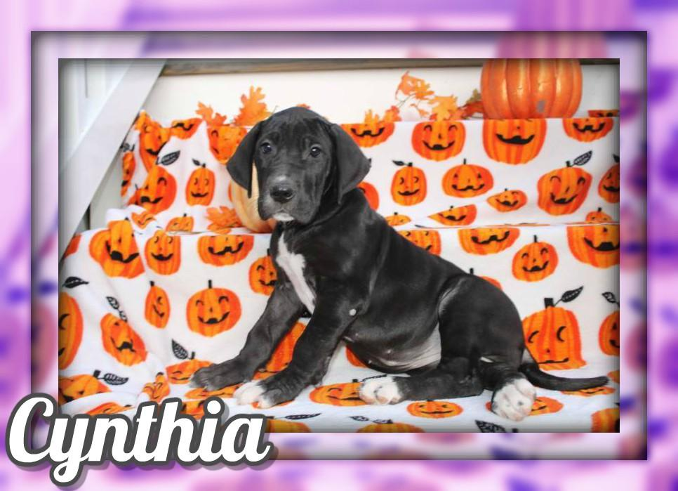 Cynthia Female AKC Great Dane