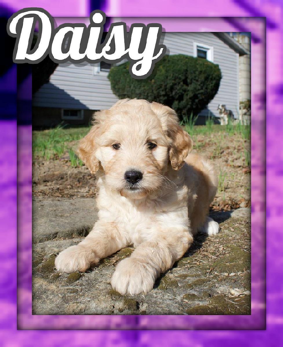 Daisy Female Aussiedoodle