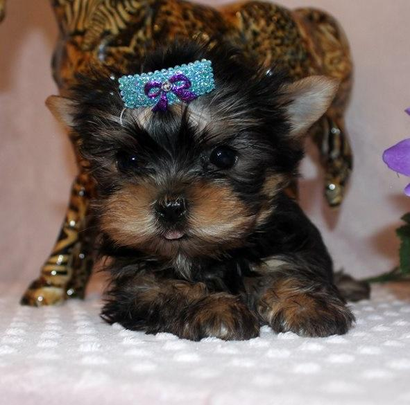 Awesome Yorkshire Terrier Puppies