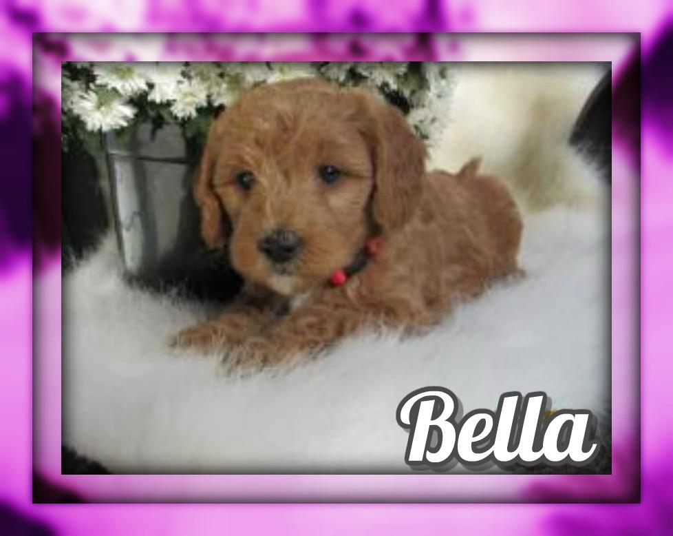 Bella Female F1B Mini Goldendoodle