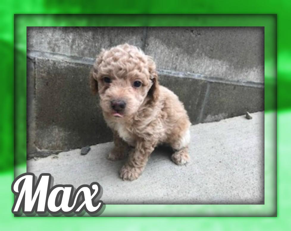 Max Male Mini Poodle
