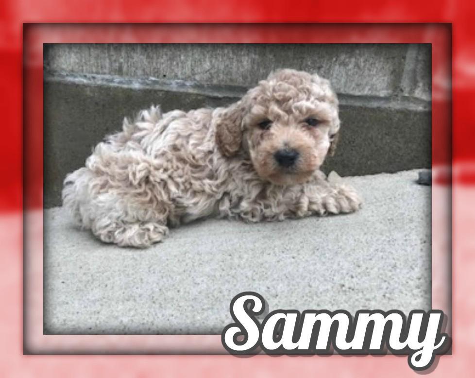 Sammy Male Mini Poodle