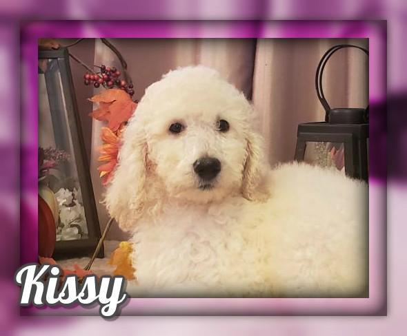 Kissy Female Standard Poodle