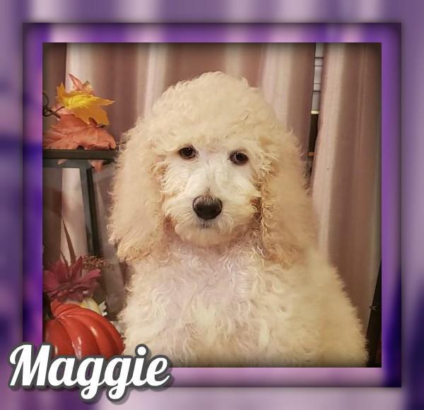Maggie Female Standard Poodle