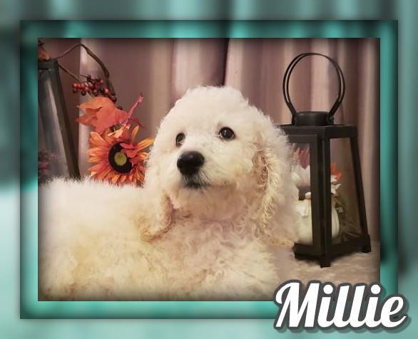 Millie Female Standard Poodle