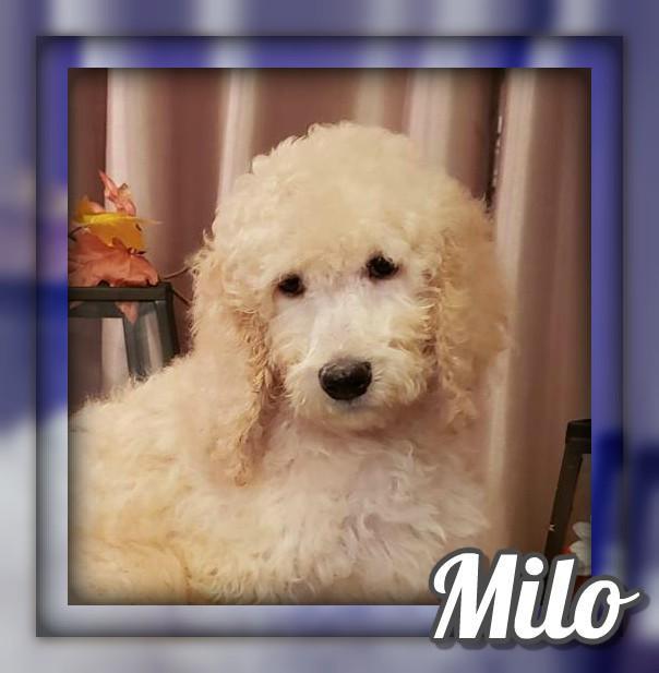 Milo Male Standard Poodle
