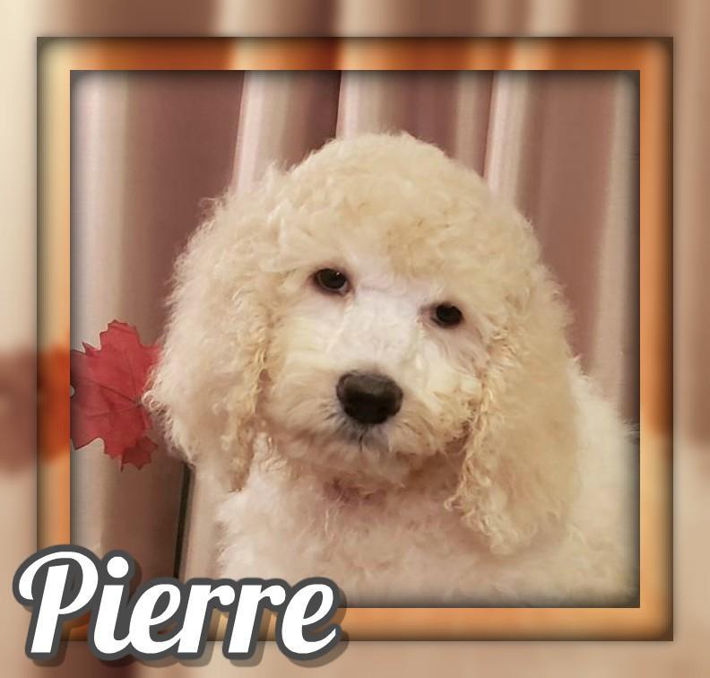 Pierre Male Standard Poodle