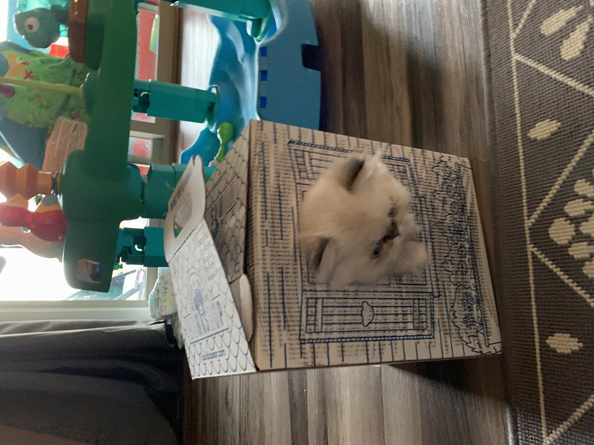 Purebreds Himalayan kitten